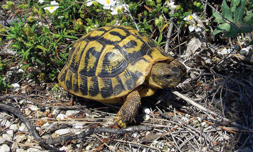 Fascynujące zwierzęta – żółw grecki