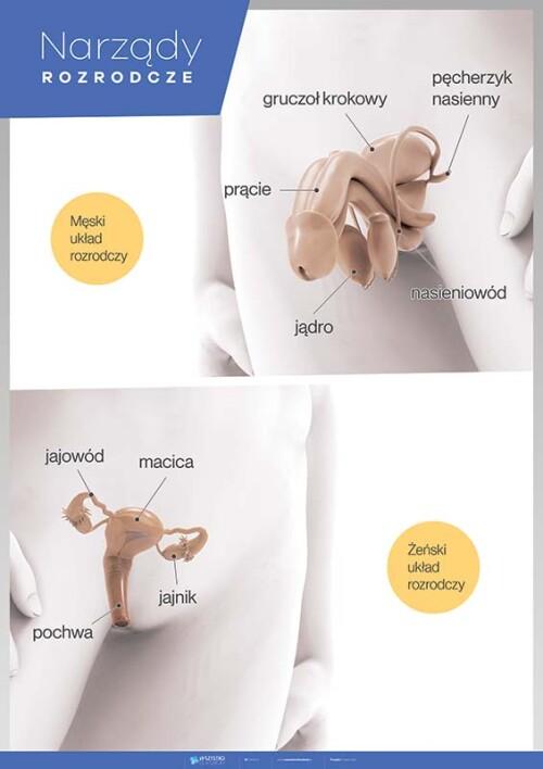 Narządy rozrodcze – Anatomia człowieka