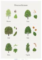 Drzewa liściaste cz. 2