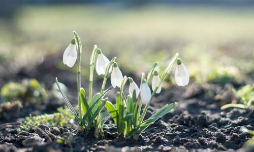 Przebiśniegi – urokliwe wiosenne kwiaty