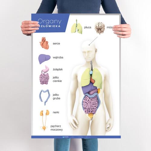 Organy człowieka – Anatomia człowieka