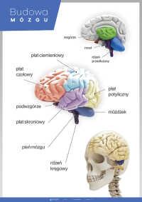 Mózg – anatomia człowieka