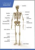 Układ szkieletowy (kostny) – Anatomia człowieka