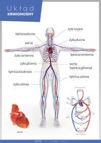 Układ krwionośny – Anatomia człowieka